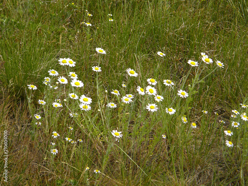 Foto op Aluminium Weide, Moeras spring field daisies on the meadow.