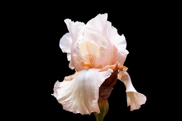 Iris flower with gentle petals of a light-pink shade on a black background.