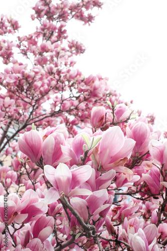 Fototapety różowe rozowe-kwiaty-magnolii-na-galazkach