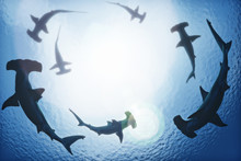 School Of Hammerhead Sharks Ci...