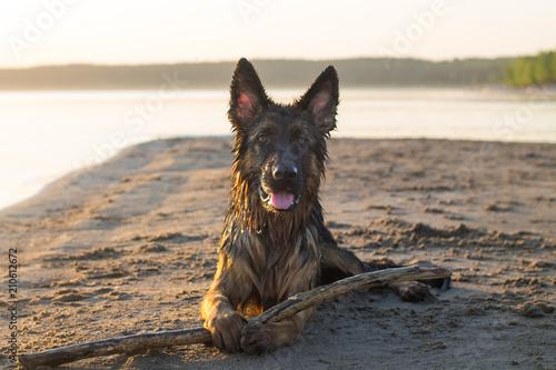 Собака отдыхает на пляже с палкой Tablou Canvas