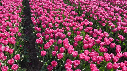 Spoed Foto op Canvas Candy roze Tulipani agricoltura in Olanda