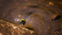 Biene Am Wasser