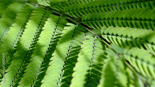 acacia leaf as background / acacia leaf as background for desktop wallpaper Wallpaper Mural