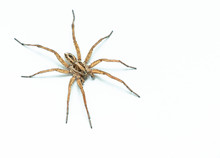 Wolf Spider 45 Degree Profile