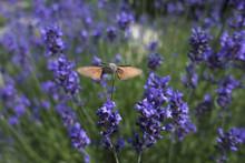 Butterfly A Hummingbird Hawk-m...