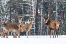 Winter Wildlife Landscape. Noble Deers Cervus Elaphus. Two Deers In Winter Forest. Deer With Large Horns With Snow Looking At Camera