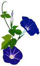Vector Illustration Of Morning Glory Flowers With Leaves Isolated On White Background