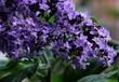 purple flowers of heliotropum plant in a garden