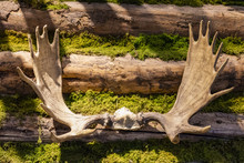 Moose Antlers On A Log Cabin Wall