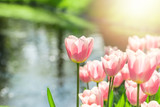 Fototapeta Tulipany - Beautiful group of pink tulips