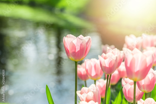 Fotobehang Tulp Beautiful group of pink tulips