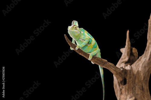 Staande foto Kameleon Green chameleon camouflaged by taking colors of its black background. Tropical animal on natural tree.