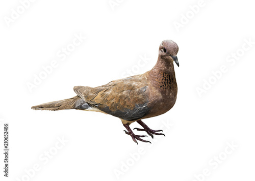 The laughing dove (Spilopelia senegalensis) on a white background isolated