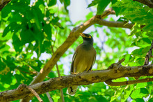 Myna Bird On The Branch In A N...