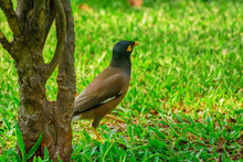 Myna Bird On The Lawn In The P...
