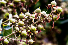 Seeds Similar To Hypericum Berry, Round Small Buds On Trees Will Grow As Fruit