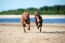 Two American Pit Bull Terrier ...