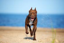 American Pit Bull Terrier Dog Running On The Beach