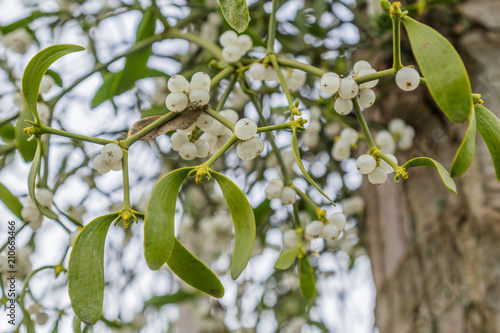 Fotografie, Obraz Mistletoe with white berries growing on a tree