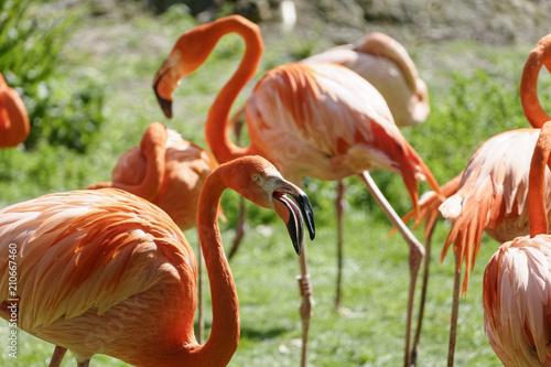 Foto op Aluminium Flamingo Flamant roses