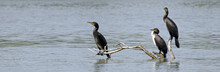 Kormorane (Phalacrocorax Carbo) - Great Cormorant
