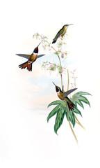 Plakat Illustration of a Hummingbird.
