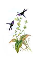 Obraz Illustration of a Hummingbird.