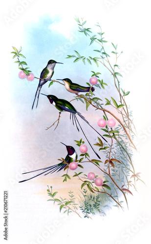 Ilustracja Hummingbird.