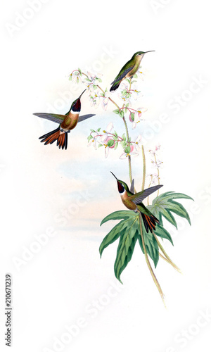 ilustracja-hummingbird