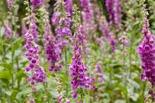 Nice Flower Called Foxglove, Thimble In The Forest