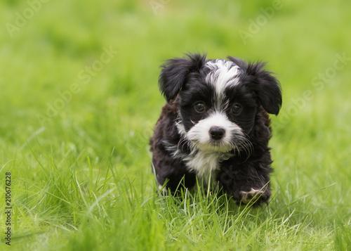 Valokuva  Havanese puppy dog