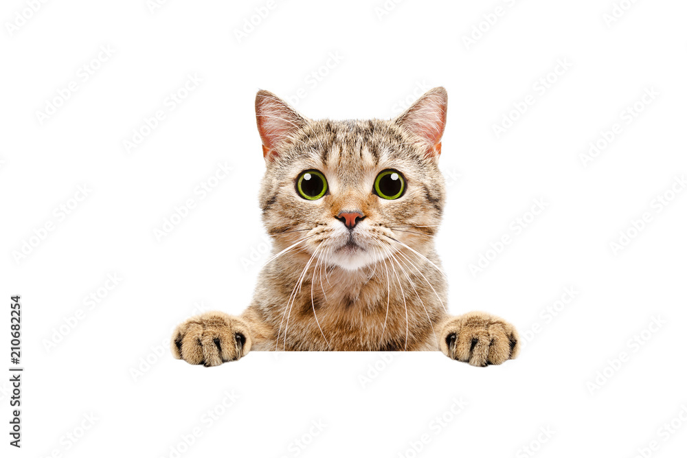 Adorable Scottish Straight cat, peeking from behind a banner, isolated on white background