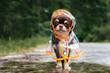 Leinwanddruck Bild - funny chihuahua dog posing in a raincoat