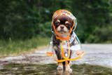 Fototapeta Zwierzęta - funny chihuahua dog posing in a raincoat