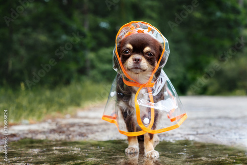funny chihuahua dog posing in a rain coat, rainy day