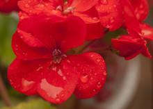 Close Up Of Red Geranium Flower.