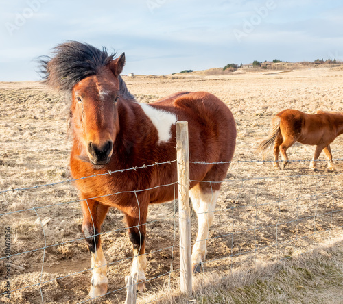 Deurstickers Ezel Icelandic horse in farm in Iceland