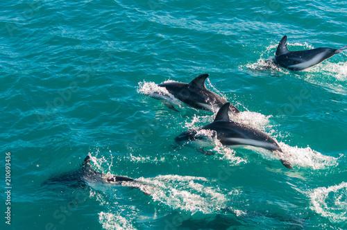 Foto op Plexiglas Dolfijn Delfin Gruppe in Kaikoura, Neuseeland 2