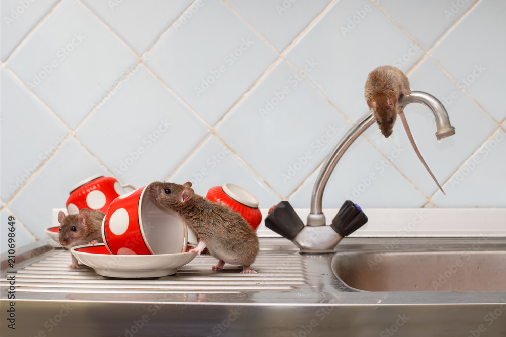 Three young rats (Rattus norvegicus) and red cups on sink and on top of the water faucet at kitchen. Fight with rodents in the apartment. Extermination.