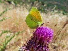 Farfalla Sul Fiore Del Cardo Selvatico