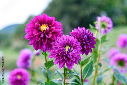 Foto op Aluminium Dahlia 紫色のダリアの花