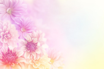 soft romance dahlia flower in sweet pastel tone background for valentine and wedding card