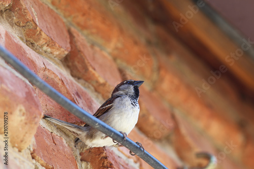 Sparrow in a dynamic position near the red wall  settle down on the wire Wallpaper Mural