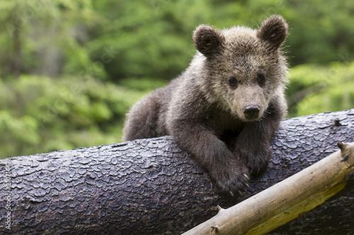 Fotografie, Obraz  bear on the belly in tree