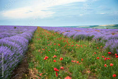 Poster Platteland lavender field with poppy flowers, beautiful summer landscape