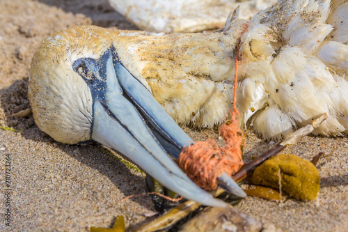 In de dag Kust dead northern gannet with plastic fishing net wrapped around its beak, washed ashore on Kijkduin beach The Hague