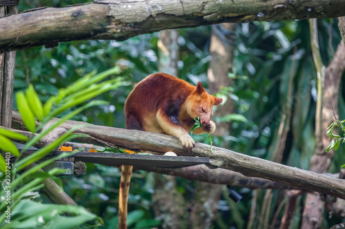 Fotobehang Kangoeroe Tree kangaroo sitting on a tree branch and eating eucalipt leaf