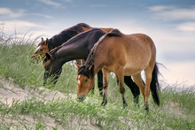 Outer Banks Horses 1