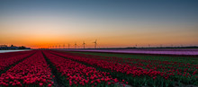 Pink And Red Tulips In Field A...